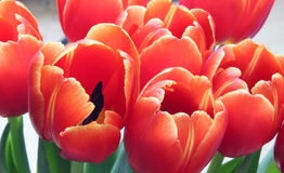 Tulips. Ensemble of coloful tulips in red Stock Photo
