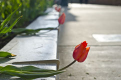 Tulips escaping. A row of red tulips escaping the city flower bed royalty free stock photo