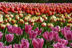 Tulips for the eyes Stock Image
