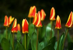 Tulips family royalty free stock image
