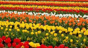 Tulips Farm. Tulips in different striking colors Stock Photography