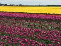 Tulips in farm field Stock Photo
