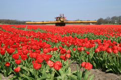 Tulips farm in Netherlands. Stock Photography