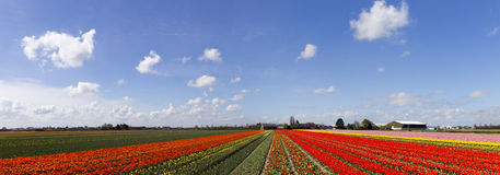 Tulips farm large panorama royalty free stock images