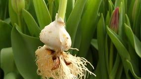 Tulips farm, tulip bilb. Roots tulip bulb lose up green field stock footage
