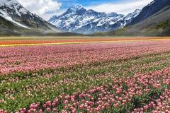 Tulips farm valley stock photography