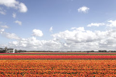 Tulips farm Royalty Free Stock Image