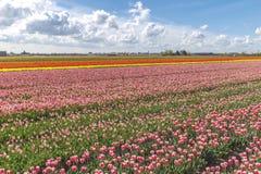 Tulips farm Stock Image