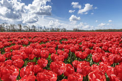 Tulips farm Stock Image