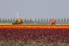 Tulips farming Royalty Free Stock Photos