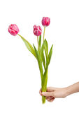 Tulips in female hand Royalty Free Stock Photos