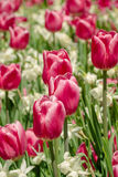 Tulips Festival Stock Images