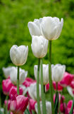 Tulips Festival Royalty Free Stock Image