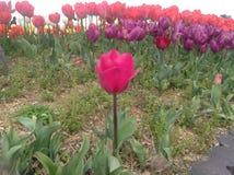 Tulips festival Royalty Free Stock Photos