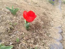 Tulips festival Royalty Free Stock Images