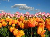 Tulips on a field. Under blue sky Stock Images