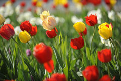 Tulips on the field. Yellow and red tulips on the field stock photos