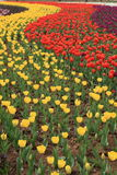 Tulips Field. Red and yellow tulips grown in a botanical garden Stock Photo