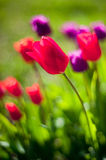 Tulips in the field stock image