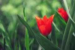 Tulips in the field royalty free stock image