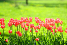 Tulips field Royalty Free Stock Photo