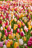 Tulips field Stock Image
