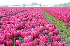 Tulips in field stock image