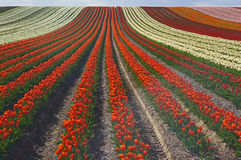 Tulips on a field Royalty Free Stock Photos