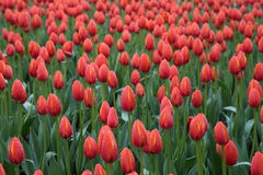 Tulips field Royalty Free Stock Photos