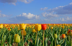 Tulips on a field Stock Images