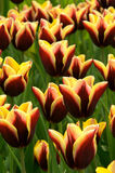 Tulips field. Beautiful spring tulips in a sunny day Stock Image