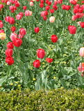Tulips in a field stock photo