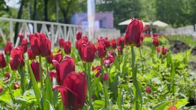 Tulips in the Field. Beautiful red tulips growing in field stock video