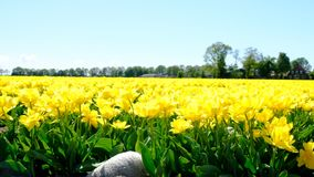 Tulips in a field during a beautiful spring day stock footage
