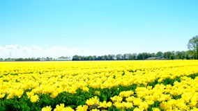 Tulips in a field during a beautiful spring day. In Holland stock footage