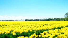 Tulips in a field during a beautiful spring day. In Holland stock video footage