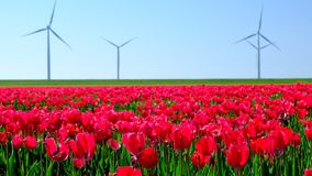 Tulips in a field during a beautiful spring day stock video footage