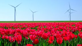 Tulips in a field during a beautiful spring day. In Holland stock video