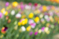 Tulips field, blurry, as spring background Stock Images