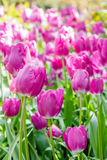 Tulips field Royalty Free Stock Photography