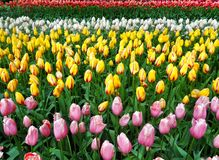 Tulips field Royalty Free Stock Images