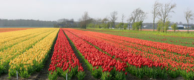 Tulips field. Stock Photography