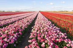 Tulips field. Stock Photos