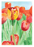 Tulips. Field with colorful red and yellow tulips in Holland Royalty Free Stock Photography