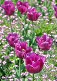 Tulips field Stock Photos