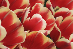 Tulips Field Detail. Detail of a beautiful field of Dutch red tulips Stock Photography