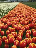 Tulips in field. Dual colored orange and yellow tulips in field on sunny farm Stock Image