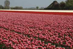 Tulips field. Duth tulips field with blue sky Stock Photography
