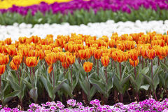 Tulips field flower background Royalty Free Stock Photos
