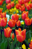Tulips. A field of glorious spring tulips royalty free stock photos